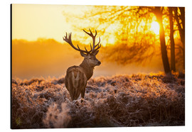Alu-Dibond  Red Deer in Morning Sun