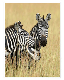 Poster Zebra friendship