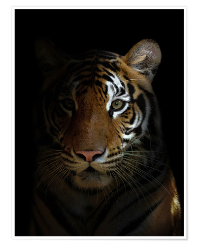 Premium poster Bengal tiger in the dark night