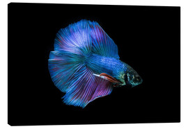 Canvas  Blue Betta