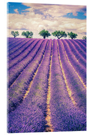 Acrylic print  Lavender field with trees in Provence, France