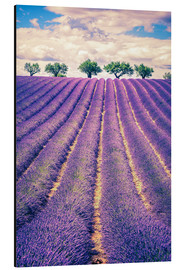 Alu-Dibond  Lavender field with trees in Provence, France