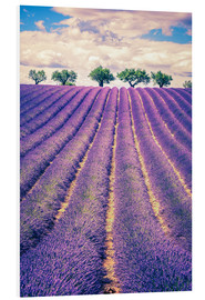 Forex  Lavender field with trees in Provence, France