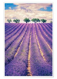 Poster  Lavender field with trees in Provence, France