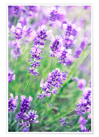 Poster  Lavender flowers