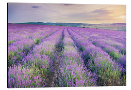 Alu-Dibond  Meadow of lavender on sunset
