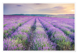 Poster  Meadow of lavender on sunset