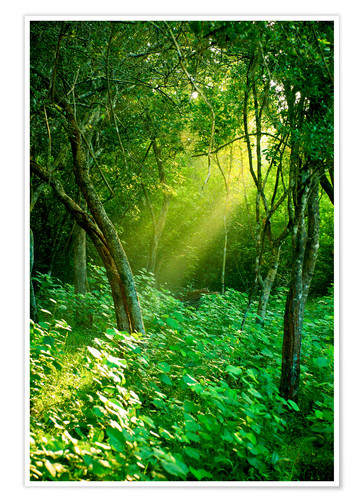 Poster Sunlight rays in the rain forest in Sri Lanka