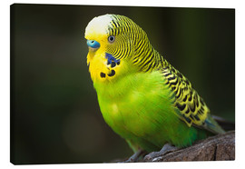 Canvas  Green budgie - Edith Albuschat