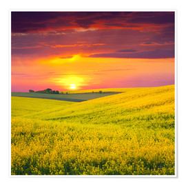 Premium poster Canola fields in the sunset