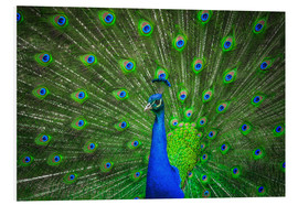 Foam board print  beautiful peacock with feathers