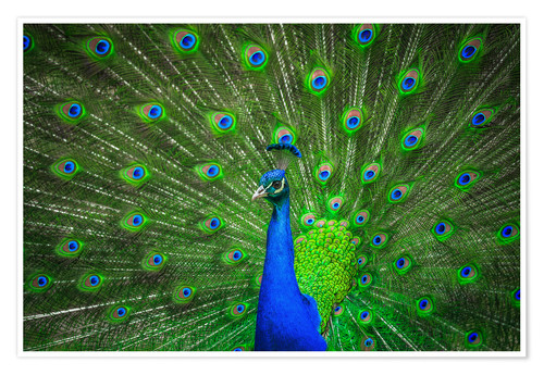 Premium poster beautiful peacock with feathers