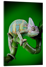 Acrylic print  green chameleon on bamboo