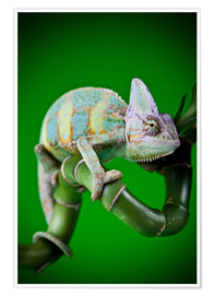 Premium poster  green chameleon on bamboo