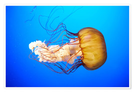 Orange jellyfish (Chrysaora fuscescens) in the blue ocean