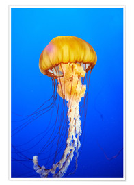Orange jellyfish in blue ocean