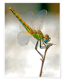 Premium poster  dragon-fly