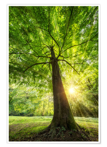 Poster Tree trunk of a beech with sunbeams