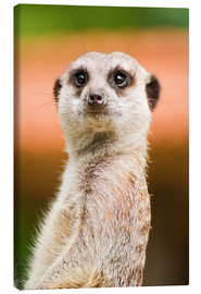 Canvas print  Attentive meerkat - Edith Albuschat
