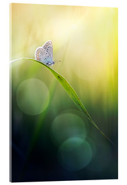 Acrylic print  Born with wings - Bob Daalder