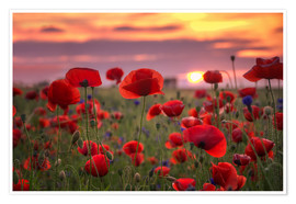 Poster Poppies in sunset