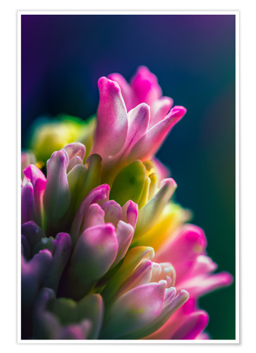 Premium poster Hyacinth against blue background