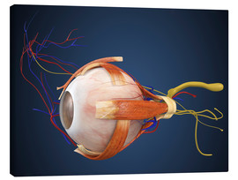 Canvas  Human eye with muscles and circulatory system.