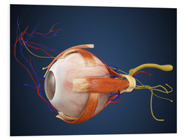 Forex  Human eye with muscles and circulatory system.