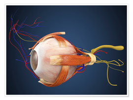 Premium poster  Human eye with muscles and circulatory system.