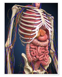 Poster  Human midsection with internal organs.