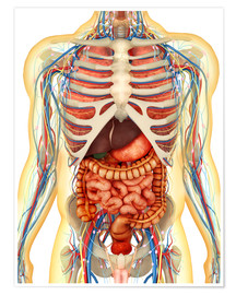 Premium poster Human body with internal organs, nervous system, lymphatic system and circulatory system.
