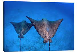 Canvas print  Spotted eagle rays - Ethan Daniels