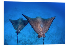 Forex  Spotted eagle rays - Ethan Daniels