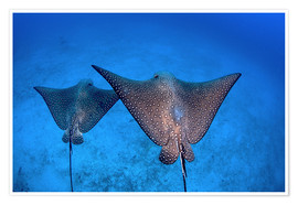 Premium poster  Spotted eagle rays - Ethan Daniels