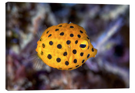 Canvas  Juvenile yellow boxfish - Ethan Daniels