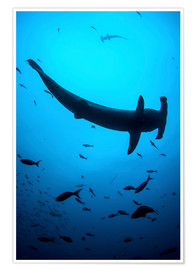 Premium poster  A scalloped hammerhead shark swims near Cocos Island, Costa Rica. - Ethan Daniels