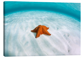 Canvas print  A West Indian starfish on the seafloor in Turneffe Atoll, Belize. - Ethan Daniels