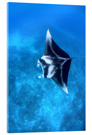 Acrylic glass  A large reef manta ray swims through clear water in Raja Ampat. - Ethan Daniels