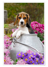 Premium poster Cute Beagle dog puppy in a milk can