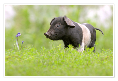 Premium poster Little Baby Pig