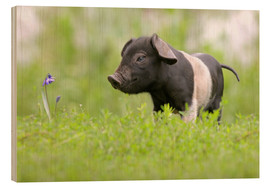 Wood print  Little Baby Pig - WildlifePhotography