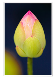 Premium poster Bud of the lotus
