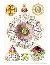 Premium poster  Crown quill, periphylla periphylla - Ernst Haeckel