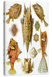 Canvas  Ostraciontes cowfish species - Ernst Haeckel
