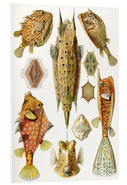 Foam board print  Ostraciontes cowfish species - Ernst Haeckel