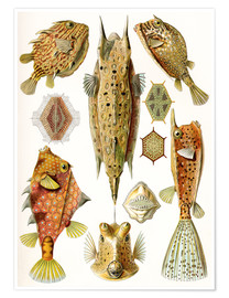 Premium poster  Ostraciontes cowfish species - Ernst Haeckel