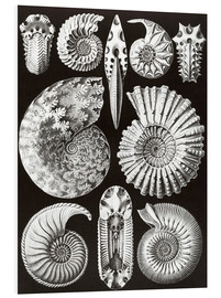 Foam board print  Ammonitida or extinct fossil ammonites - Ernst Haeckel