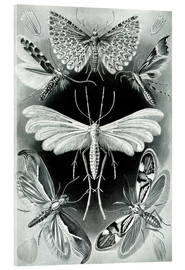 Acrylic print  Plate of moths - Ernst Haeckel