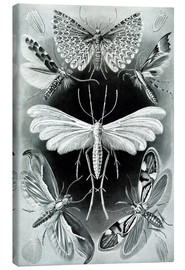 Canvas print  Plate of moths - Ernst Haeckel