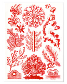 Premium poster  Red algae and sea grass or Florideae - Ernst Haeckel